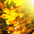 Maple leaves illuminated by the sun - PhotoDune Item for Sale