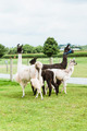 Four Lama's on farm in Amish country - PhotoDune Item for Sale