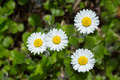 Daisy closeup - PhotoDune Item for Sale