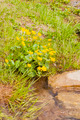 Caltha Palustris L. (Kingcup, Marsh Marigold) over the Stream in the Mountains - PhotoDune Item for Sale