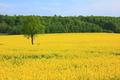 Yellow field - PhotoDune Item for Sale