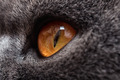 yellow eyes of gray cat - PhotoDune Item for Sale