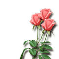 bouquet of pink roses on a white background - PhotoDune Item for Sale
