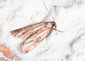 Flour Moth, Pantry Moth (Ephestia kuehniella) - PhotoDune Item for Sale