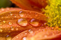 Drops over flower - PhotoDune Item for Sale