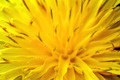 Yellow flower - PhotoDune Item for Sale