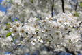 branch of blossoming cherry - PhotoDune Item for Sale