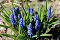 Some beautiful blue flowers of muscari - PhotoDune Item for Sale