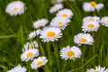 Bellis perennis - PhotoDune Item for Sale