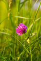 Trifolium Pratense (Red Clover) - PhotoDune Item for Sale