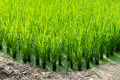Green rice field background - PhotoDune Item for Sale