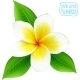 Vector Realistic Isolated Plumeria Flower - GraphicRiver Item for Sale