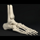 Low Poly Skeletal Human Foot Bones - 3DOcean Item for Sale