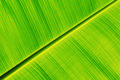 Fresh banana leaf - PhotoDune Item for Sale