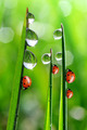 dew and ladybirds - PhotoDune Item for Sale