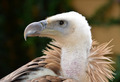 Griffon Vulture - PhotoDune Item for Sale