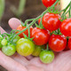 cherry tomatoes in hand - PhotoDune Item for Sale