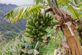 Banana tree at Madeira Island, Portugal - PhotoDune Item for Sale