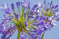 Macro view of purple agapanthus against a blue sky - PhotoDune Item for Sale