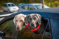 Dogs in car - PhotoDune Item for Sale