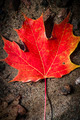 Red maple leaf in water - PhotoDune Item for Sale