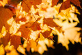 Backlit fall maple leaves - PhotoDune Item for Sale