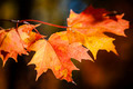 Red fall maple leaves - PhotoDune Item for Sale