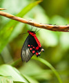 Red exotic butterfly - PhotoDune Item for Sale