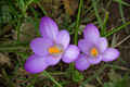 Crocus flower - PhotoDune Item for Sale