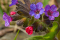 lungwort (Pulmonaria officinalis) - PhotoDune Item for Sale