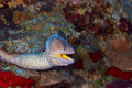Yellowmouth moray - PhotoDune Item for Sale