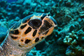 Hawksbill turtle head - PhotoDune Item for Sale