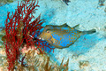 Bluetail trunkfish - PhotoDune Item for Sale