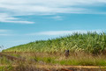 Sugarcane Field - PhotoDune Item for Sale