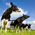 Holstein cows - PhotoDune Item for Sale