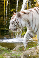White Bengal Tiger - PhotoDune Item for Sale