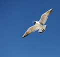 Seagull  flying in the sky - PhotoDune Item for Sale