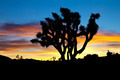 Joshua Tree Silhouette in Sunset - PhotoDune Item for Sale