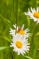 Meal on Leucanthemum Vulgare (Oxeye Daisy, Chrysanthemum Leucanthemum) - PhotoDune Item for Sale