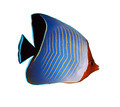 Hooded butterflyfish - PhotoDune Item for Sale