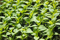 Sweet pepper seedling rows before planting - PhotoDune Item for Sale