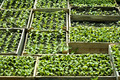 Sweet pepper seedlings sown in the wooden boxes - PhotoDune Item for Sale