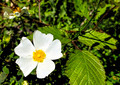 flower of cistus - PhotoDune Item for Sale