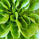 Macro view of a small home-grown head of lettuce - PhotoDune Item for Sale