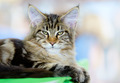 Brown-white tabby Maine Coon cat - PhotoDune Item for Sale