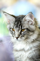 Grey-white tabby Maine Coon cat - PhotoDune Item for Sale