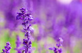 fresh violet salvia flowers - PhotoDune Item for Sale