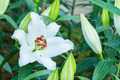 white lilly flower - PhotoDune Item for Sale