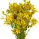 Hypericum perforatum Cutout - PhotoDune Item for Sale