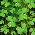 Shamrocks with Dew Drops on Black - PhotoDune Item for Sale